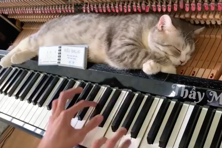 ピアノでマッサージ中!?「タララララ~♪」で思わずビクッとするニャンコが超可愛い