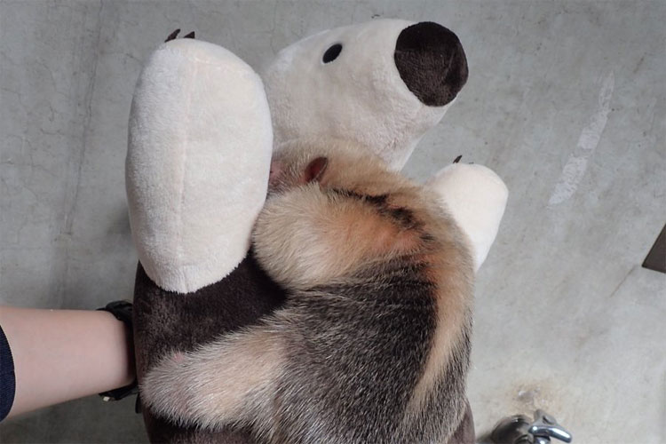 """どっちがぬいぐるみ!?ぬいぐるみに抱きついて体重測定中の""""ミナミコアリクイ""""の赤ちゃんがカワイイ"""