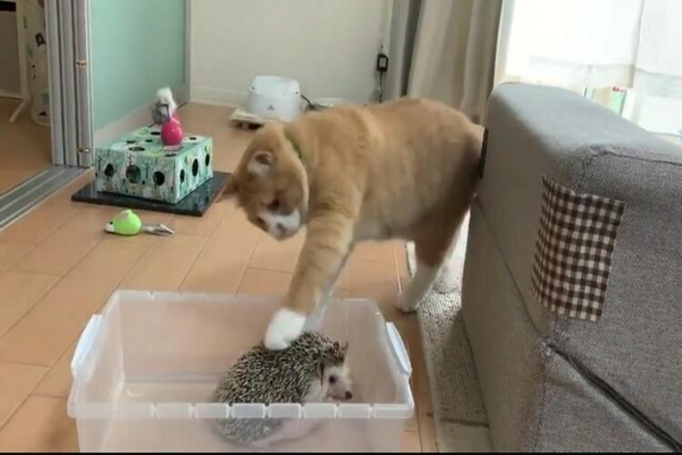 「なんで毎回ちょっと触って去って行くの…?」猫とハリネズミの絶妙な距離感にほっこり
