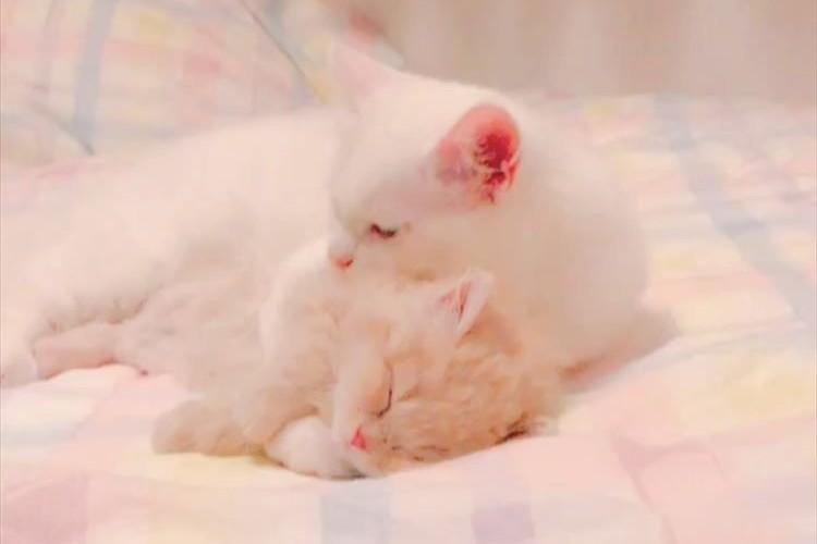 弟は僕が守るニャ!地震が発生し、とっさに弟を抱きしめる兄猫の愛に感動の涙
