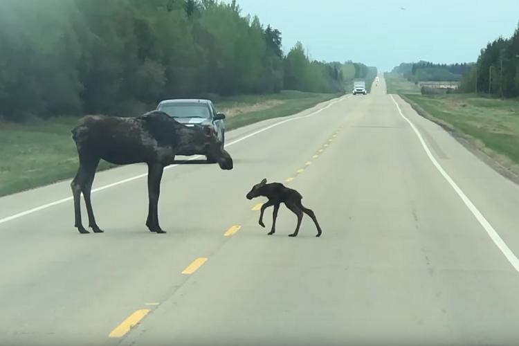 歩くのもままならないヘラジカの赤ちゃんが初めて高速道路を横断。優しく見守る母の親子愛にホッコリ