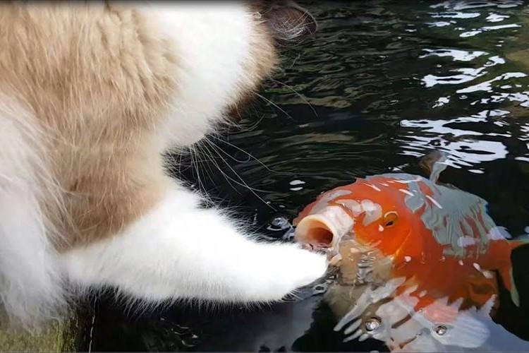 マジでコイする5秒前…!?ニャンコと鯉のじゃれ合う様子がめっちゃ可愛くてほっこり