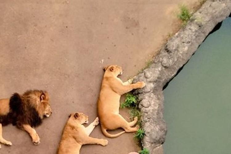 多摩動物公園でお昼寝中のライオン達の光景が、まるでゲーム『どうぶつタワーバトル』のようだと話題に!