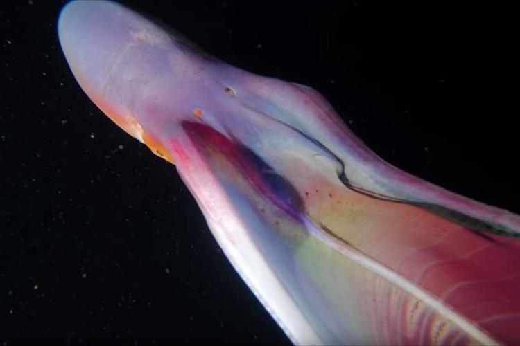 """アゲハ蝶?幽霊?形や色を変えながらゆらゆらと泳ぐ""""ムラサキダコ""""が不思議すぎる!"""