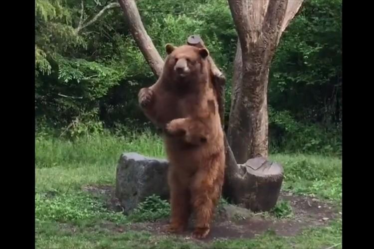 「中に人間が入っていませんか?」まるでダンスを楽しんでいるようなクマが可愛すぎると話題に!