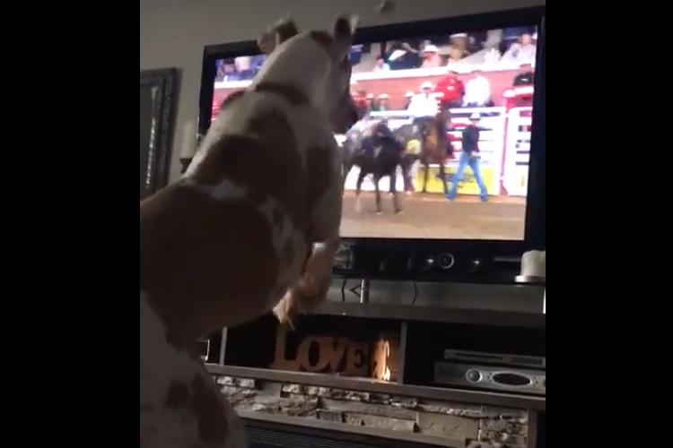 ロデオは僕にだって出来るワン!テレビを見ながら馬の動きを真似するワンちゃんが可愛い