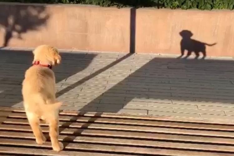 ま、真似するなワン!自分の影を別の犬だと勘違いして吠えまくるワンコ