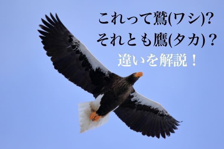 鷲(ワシ)と鷹(タカ)の違いや見分け方!ついでにトンビも解説