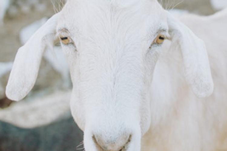 奇妙なヤギの目!よく見ると「なんだか怖い... 」その仕組みを解説!ヤギ雑学も