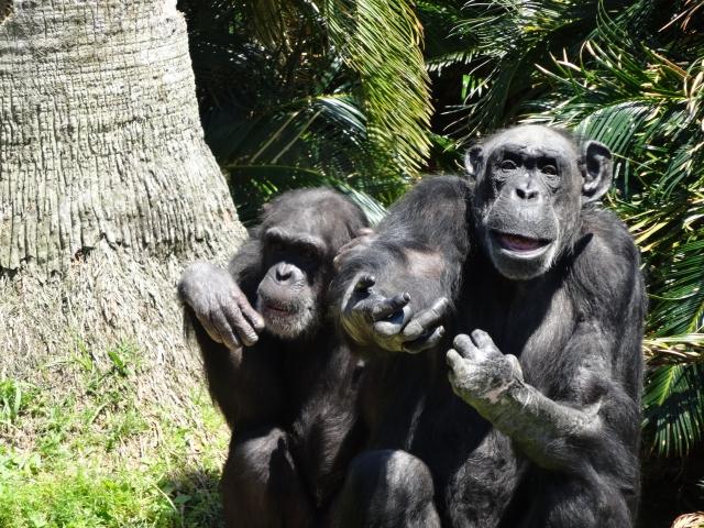 チンパンジーが凶暴って本当?かわいいだけじゃないチンパンジーの一面!!