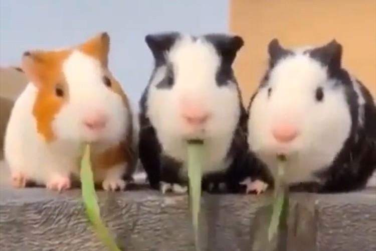 仲良く草を食べている3匹のモルモット…最後には超絶可愛らしいオチがまっていた(笑)