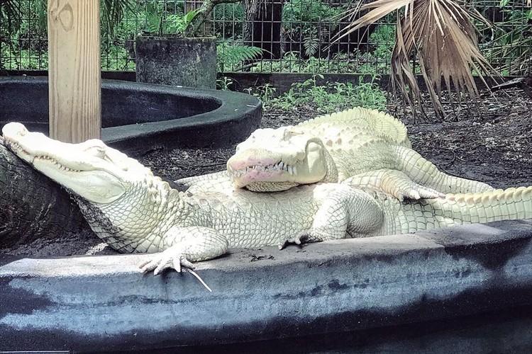 アメリカの動物園で暮らすアルビノのワニのカップルが話題に!19個の卵を産んで今夏に孵化する見込み