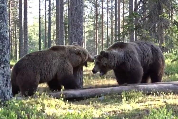 フィンランドで撮影された巨大なヒグマ同士のガチな喧嘩が怖すぎる!