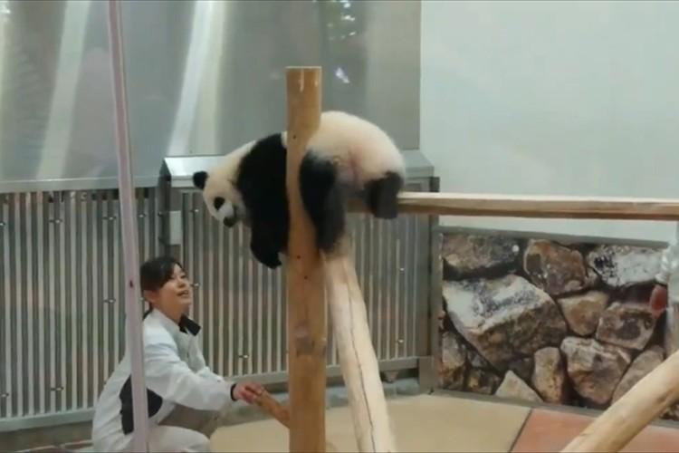 わちゃわちゃ動き回るパンダの赤ちゃんと飼育員さんのやりとりが、まるでコントのようだと話題に!
