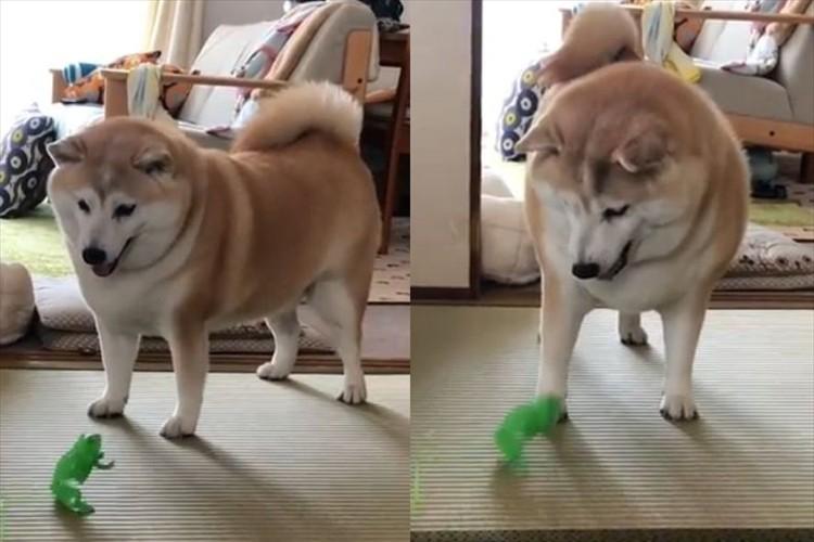 ビクッ!ビクッ!カエルのおもちゃに対する柴犬のリアクションがめっちゃ可愛い♪