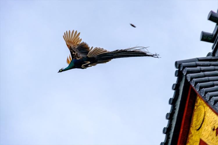まさに鳳凰のような神々しさ…お寺から孔雀が飛び立つ瞬間をとらえた写真に反響
