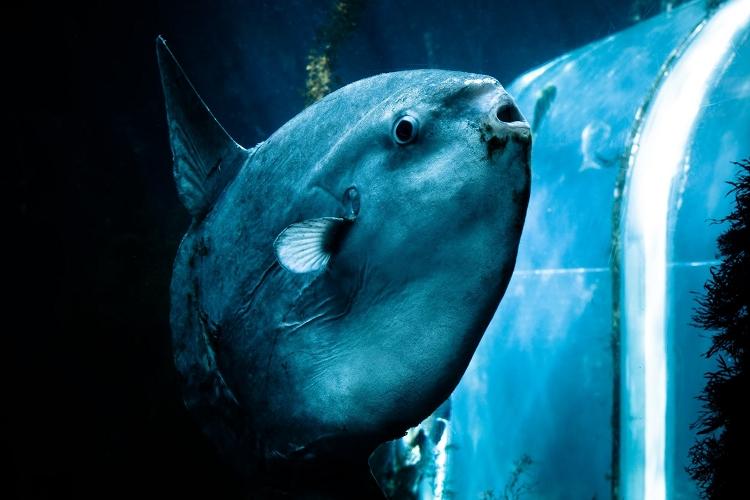 謎に包まれた魚「マンボウ」!3億個の卵を産むのも最弱魚の噂も根拠なし!その不思議な魅力に迫る!
