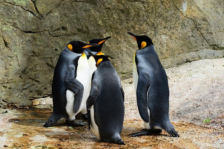 ペンギンは鳴き声でコミュニケーションをとる!意外と知らないペンギンの鳴き声についてご紹介