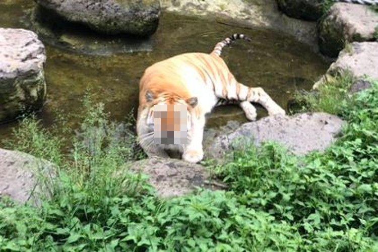 こんなに悲しい表情のトラを見たことない!那須サファリパークにいるボルタ君の表情がめっちゃ可愛い