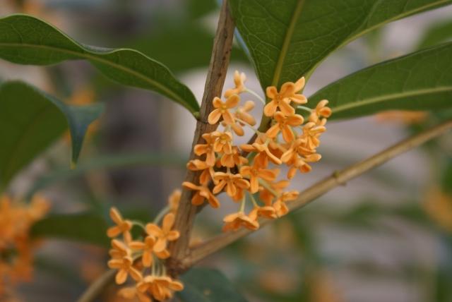 金木犀の枝