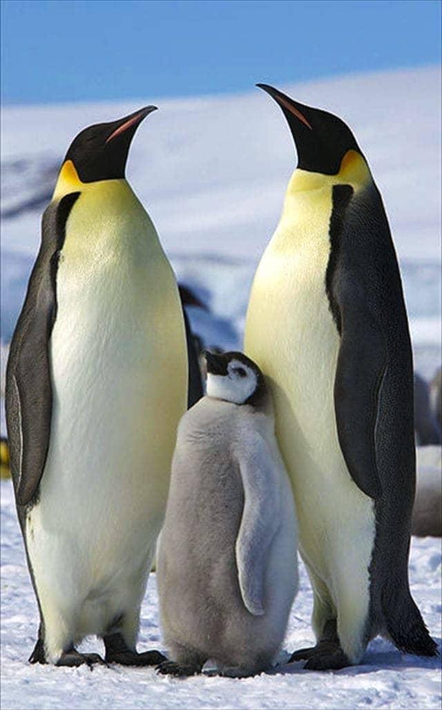 世界一大きい泳ぐ鳥はコウテイペンギン