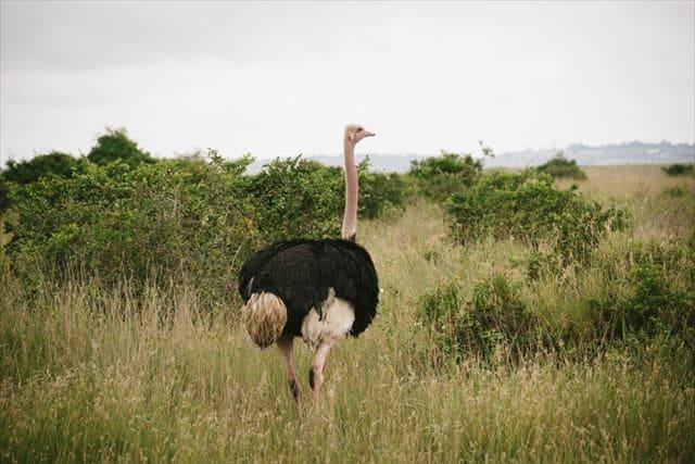 サバンナを走る世界一の鳥