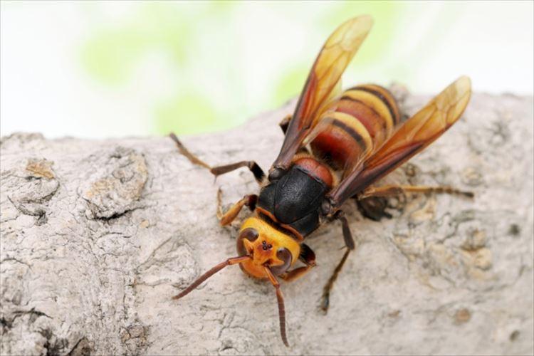 日本原産オオスズメバチ!世界最強のハチの生態に迫る!