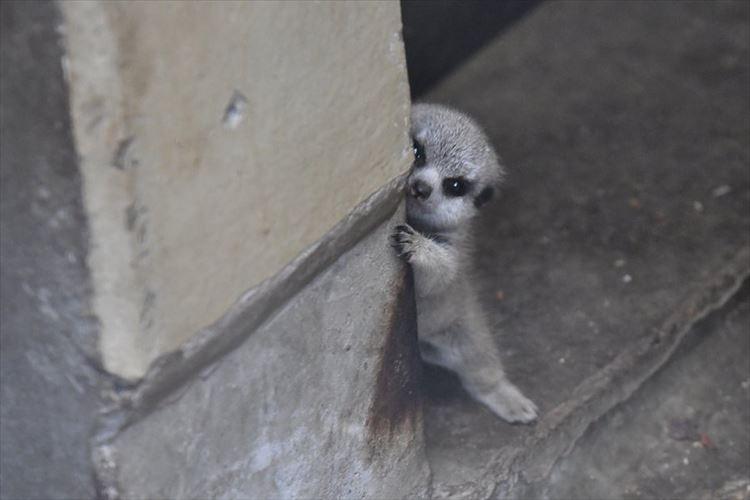 照れ屋さんかなぁ~!?柱から覗くミーアキャットの子どもが可愛すぎる!