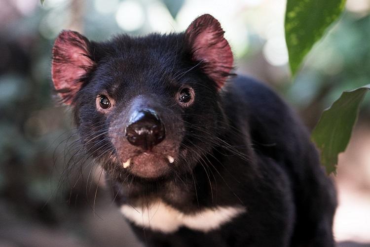 おかあさんといっしょでもおなじみ!日本の動物園でも会える黒い悪魔、タスマニアデビル!!