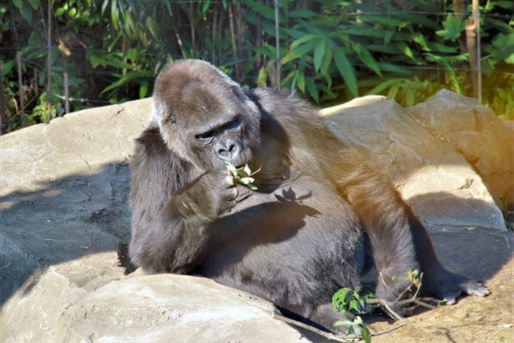 ゴリラの面白い雑学!バナナは食べない?握力がすごい?