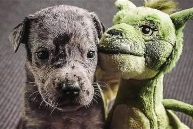子犬の頃にプレゼントしたドラゴンのぬいぐるみとずっと一緒のワンコ♪昔と今の比較写真が話題に