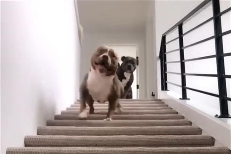 一体どんな降り方をしたの?ワンコが階段を降りるだけの動画がこんなに面白いなんて(笑)