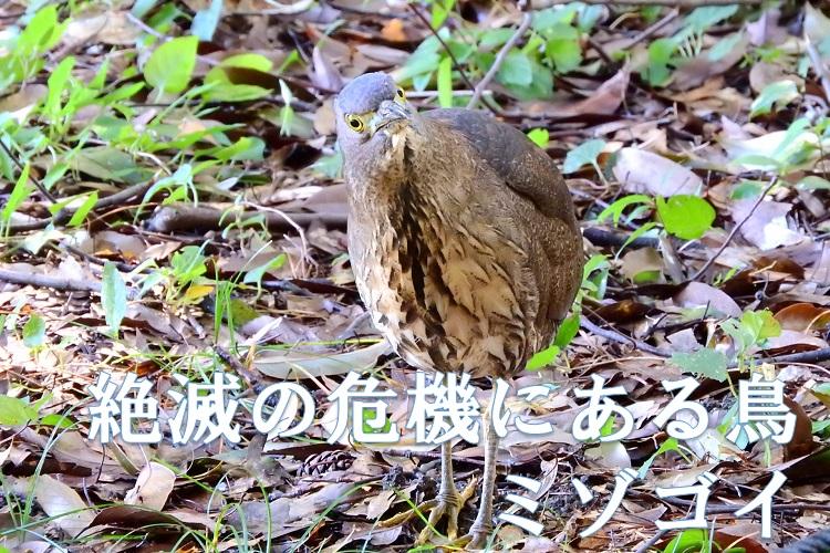 渡り鳥のミゾゴイ、目立たない鳥がいつの間にか絶滅の危機に!