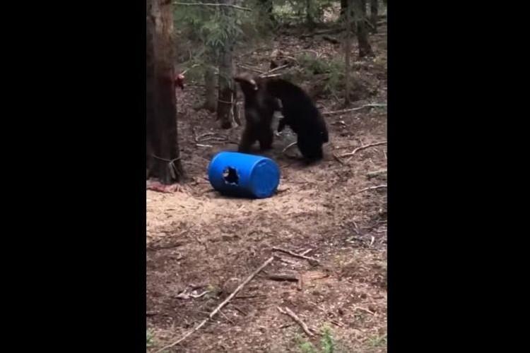 襲われそうになる子熊。その直後に母熊が現れ・・ものすごい勢いで敵に襲い掛かる!