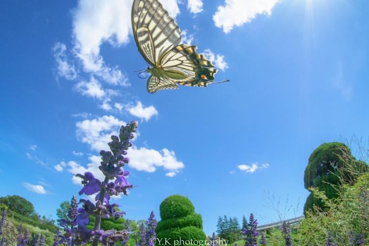 これはスゴイ!絵に描いたようなアゲハ蝶の写真に「お見事!」「美しい」の声