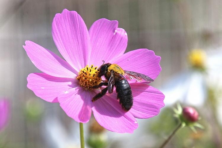 大きくて怖がられるクマバチ!実は見た目も性格もかわいいヤツなんです!