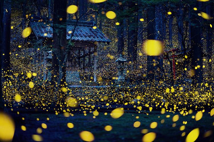 圧巻の光景!神社で撮影した「蛍のイルミネーション」が幻想的で美しすぎる!