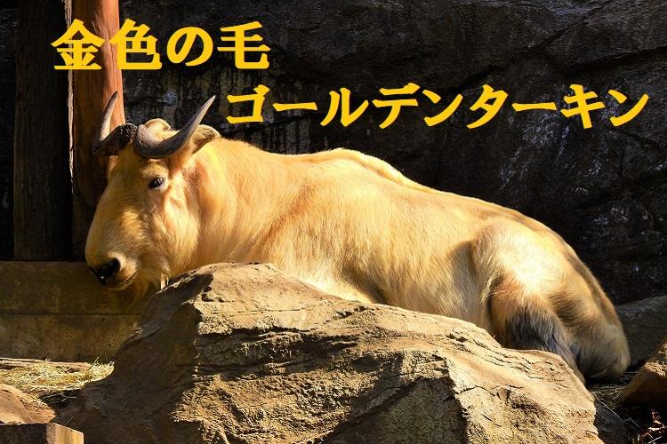 金色の毛を持つ「ゴールデンターキン」の生態をご紹介します!