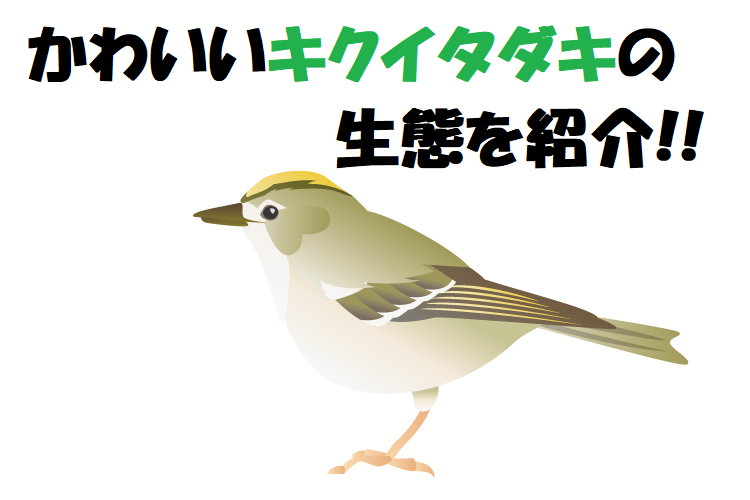 かわいい日本最小の鳥「キクイタダキ」、その生態は?飼育はできるの?