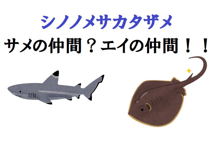 【シノノメサカタザメ】名前はサメだが実はエイ!さらにフカヒレも獲れる不思議な奴!