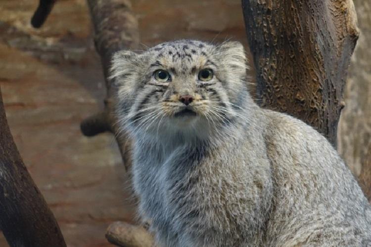 もふもふ猫のマヌルネコ!日本の動物園でもぬいぐるみのようにかわいい姿を見られる!