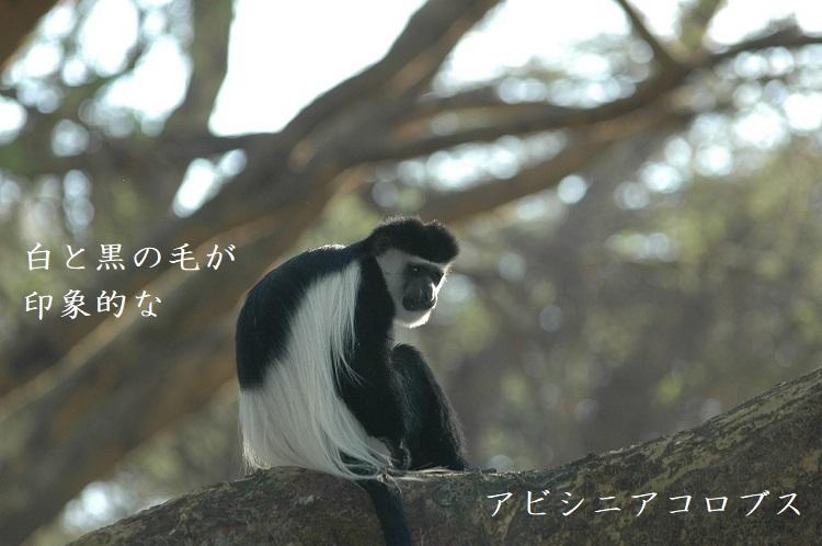 マントを羽織ったオシャレ猿!「アビシニアコロブス」の神々しい姿と魅力を紹介