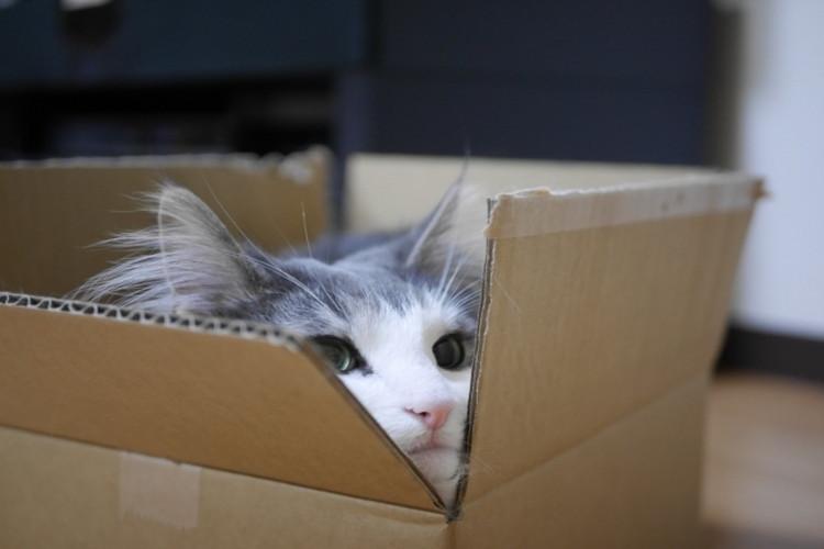 猫が段ボールを好きな理由は野生時代の名残だった!?生活環境に合わせた快適な段ボールライフを!