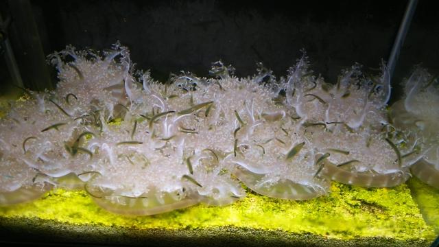 サカサクラゲ
