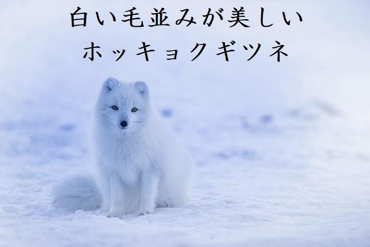 白い毛並みが美しい「ホッキョクギツネ」を紹介!