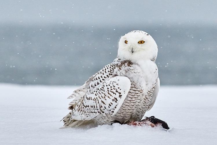 【シロフクロウ】ハリーポッターで一躍人気者になったあの白いフクロウってどんな鳥?