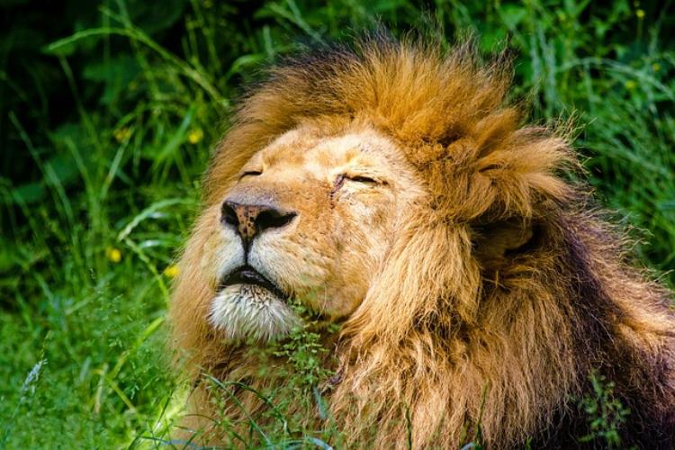 百獣の王ライオンの種類・性格・生態に迫る!絶滅から復活した最強最大の個体とは?