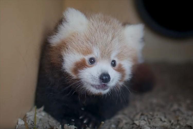 片手におさまっちゃう小ささ・・生まれたばかりのレッサーパンダの赤ちゃんが可愛すぎる!