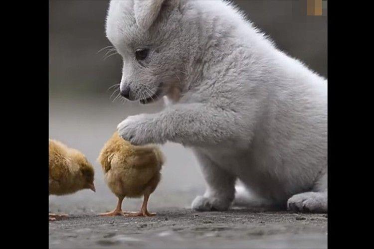 一緒に遊ぼうよ~ ヒヨコを追っかけ続ける子犬が可愛すぎる!その後ヒヨコがいなくなると・・