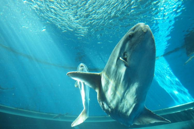 世界一重い硬骨魚「ウシマンボウ」ってどんな魚?最大の記録は2.3トン!しかも千葉